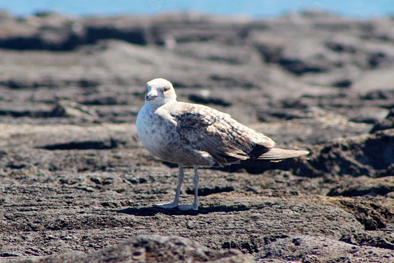 seagull lanzarote